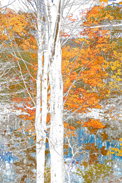 Fall trees whiteout
