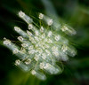 queen ann's lace motion