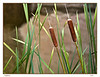 Cat tails<br /> 444-434-343-33<br /> Award<br /> Neil Marcus<br /> Judge's comment: attractive shot, cat tails are framed well<br /> Judge's comment: top of cat tail burned out<br /> Judge's comment: nice technique to blur out background. Perhaps diffeent camera angle would enhance interest level.