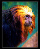 Golden-Headed Lion Tamarin<br /> 333-333-555-33<br /> accepted<br /> Judge's comment: looks over-saturated to me  <br /> Judge's comment: A great portrait!<br /> James McArthur