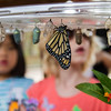 Monarch Butterflies and Chrysalis at the Nectar Party January 12, 2013 - Jay Paredes
