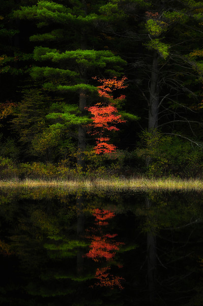 Reflection of a Small Pine tree, Adirondacks.
