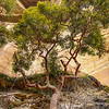 A beautiful Angophora under the cliff.