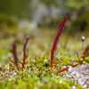 A sundew near Lake Esperance.