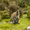 A Bennets Wallaby and her joey warming up after a cold night.