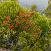 A large Tasmanian Waratah (Telopea truncata) on the edge of Ball Lake.