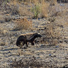 Honey badger, Etosha National Park, Namibia, Africa
