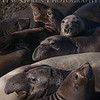 Elephant Seals<br /> Big Sur, California<br /> 1401BS-ES1