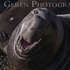 Elephant Seal Bull Challenge.  Note the scarred face.<br /> Big Sur, California<br /> 1401BS-ESBC1