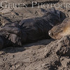 Elephant Seal Mother and New Born Pup<br /> Big Sur, California<br /> 1401BS-ES13