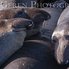 Elephant Seals<br /> Big Sur, California<br /> 1401BS-ES8