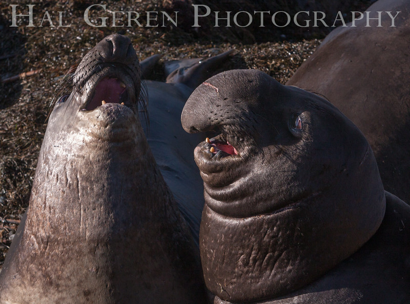 Elephant Seals<br /> Big Sur, California<br /> 1401BS-ES9