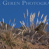 Pampas Grass<br /> Big Sur, California<br /> 1401BS-PG1
