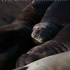 Elephant Seals<br /> Big Sur, California<br /> 1401BS-ES5