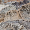 Tafoni patterns (carved sandstone)<br /> Bean Hollow State Beach, California<br /> 1401M-SP2