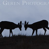 Deer testing their antlers<br /> Dry Creek Park, Fremont, California<br /> 1308DC-D4