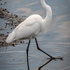 Great Egret<br /> Don Edwards National Wildlife Refuge, Fremont, California<br /> 1407R-GE3