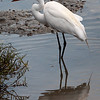 Great Egret<br /> Don Edwards National Wildlife Refuge, Fremont, California<br /> 1407R-GE2