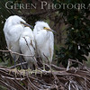 Great Egret Fledglings Newark, California 1304N-GE16F