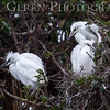 Great Egret Fledglings Newark, California 1304N-GE15F