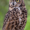 Great Horned Owl Hayward, California 1303S-GHO4