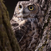 Great Horned Owl Hayward, California 1303S-GHO2