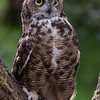 Great Horned Owl Hayward, California 1303S-GHO9