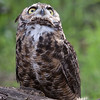 Great Horned Owl Hayward, California 1303S-GHO10