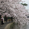 Washington DC Cherry Trees 2009