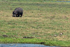 _MLD3606 Hippo on Land