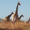 Giraffes on the Run - Kalahari, Namibia