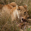 Lion Feasting on an Antelope - Serengeti, Tanzania