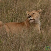Lion in the Tall Grass - Serengeti, Tanzania