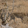 A Pair of Hunting Leopards - Botswana