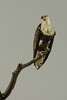 African fish eagle (Haliaeetus vocifer)[