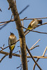 Common bulbuls(Pycnonotus barbatus)