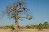 Baobab Tree (Adansonia digitata )