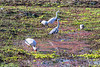 Four species of waterbirds foraging