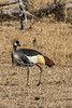 South African crowned crane (Balearica regulorum)