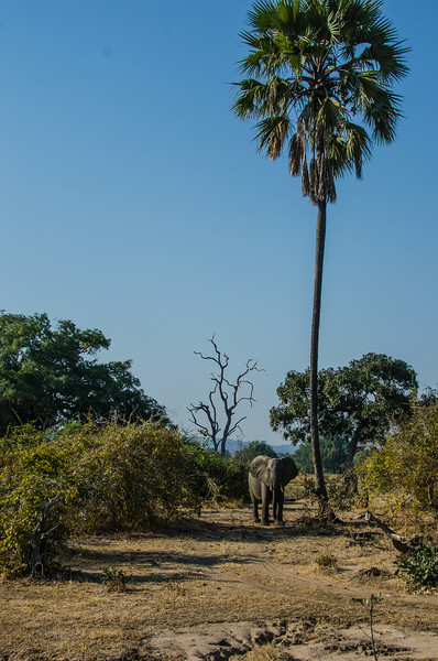 Elephant and a fan palm