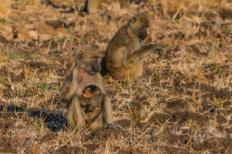 Yellow baboon, Papio cynocephalus