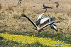 South African crowned crane (Balearica regulorum) and Yellow-billed stork