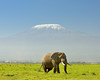 Elephant and Mt. Kilimanjaro--Amboseli