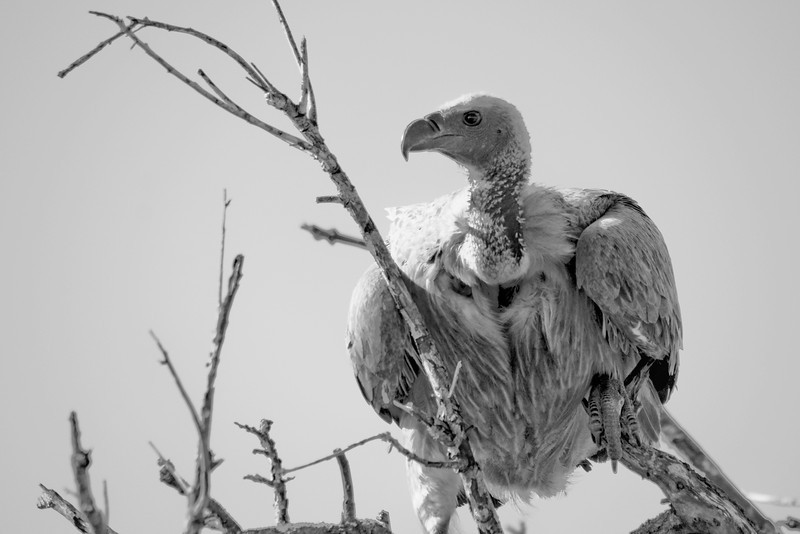 KNP 02  The Vulture