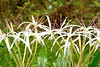 Spider Lily or  Poison Bulb (Crinum asiaticum)