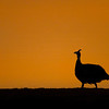NB 13 Guinea Fowl Sunset