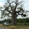 A Baobab tree along dirt road route R525 heading towards Kruger