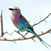 VF 04 Lilac Breasted Roller