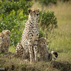 Mara Cheetah Mother and Cubs