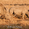 White Rhino - Mother and her calf